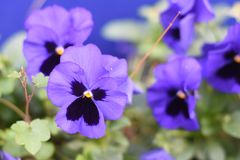 Beautiful Pansy Summer Flowers In Garden Royalty Free Stock Image