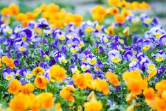 Beautiful pansy, viola or violet flowers in the garden royalty free stock images