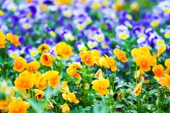 Beautiful pansy, viola or violet flowers in the garden stock images