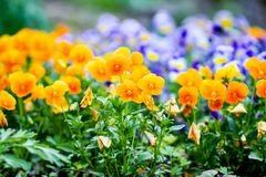 Beautiful pansy, viola or violet flowers in the garden royalty free stock photos
