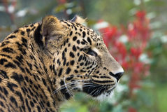 Beautiful panther Royalty Free Stock Photography