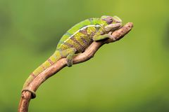 Beautiful Panther Chameleon Royalty Free Stock Images