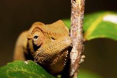 Beautiful panther chameleon, Madagascar Royalty Free Stock Image