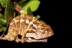 Beautiful panther chameleon, Madagascar Royalty Free Stock Images