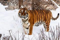Beautiful panthera tigris on a snowy road stock photos