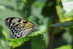 Beautiful Paper Kite Butterfly. (Idea leuconoe), native to Asia photographed in Phoenix, Arizona, sitting on a leaf Royalty Free Stock Images