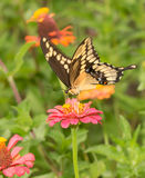 Beautiful Papilio cresphontes, Giant Swallowtail butterfly Royalty Free Stock Photography