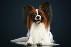 Beautiful papillon dog Royalty Free Stock Image