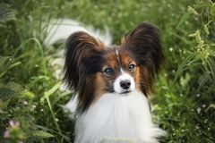 Beautiful papillon dog lying in the green grass field in summer. Continental toy spaniel outdoors. Close-up