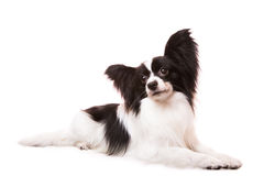 Beautiful papillon dog lying on isolated white. Beautiful small papillon dog with large black ears lying on isolated white background royalty free stock photo