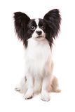 Beautiful papillon dog sitting on isolated white. Beautiful small papillon dog with large black ears sitting on isolated white background royalty free stock photo