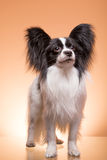 Beautiful papillon dog sitting on pink background Royalty Free Stock Photography