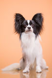 Beautiful papillon dog sitting on pink background Stock Photos