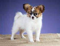 Beautiful Papillon puppy Stock Photography