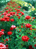 Beautiful park full of red roses Royalty Free Stock Photos