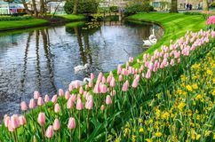 Beautiful park Keukenhof with flower beds of flowering pink tulips and yellow narcissus, pond with swans and green lawns. Beautiful park Keukenhof with flower stock photos