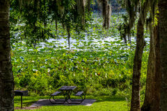 A Beautiful Park Picnic Area with Trees, Spanish Moss, Blooming Yellow Lotus Water Lily Pad Flowers and Other Water Plants Stock Photography