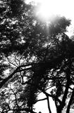 Beautiful park tree black and white Royalty Free Stock Image