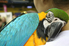 Beautiful Parrot. Beautiful Parrot on my shoulder Stock Photography
