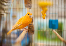 Beautiful parrot. A Beautiful Yellow Parrot in a steel cage Royalty Free Stock Photography