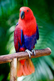 A beautiful parrot. A beautifuly coloured parrot on a wooden perch Royalty Free Stock Photo