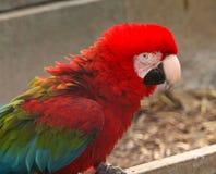 Beautiful parrot Stock Photography