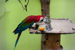 Beautiful parrot in cage royalty free stock photos