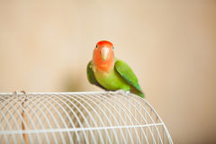 Beautiful  parrot lovebird sitting Stock Photo
