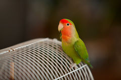 Beautiful  parrot lovebird sitting Stock Images