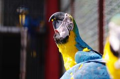 A beautiful parrot macaw ara with yellow and blue feather close-up stock photography