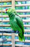 Beautiful parrot named Paul. This is a picture of a beautiful parrot named Paul. It is above a branch in Mexico Royalty Free Stock Images