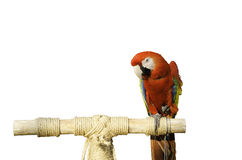 Beautiful parrot. Red parrots beautiful and white background Royalty Free Stock Photo