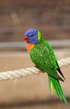 Beautiful parrot Royalty Free Stock Images