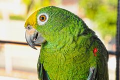 Parrot in a small photo session royalty free stock images