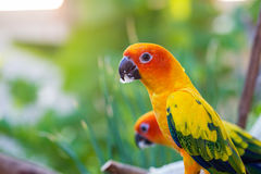 Beautiful parrot,sun conure Royalty Free Stock Photos