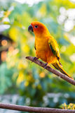Beautiful parrot,sun conure Royalty Free Stock Image