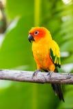 Beautiful parrot,sun conure Stock Photos