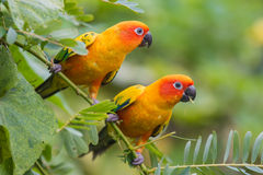 Beautiful parrot sun conure Stock Image