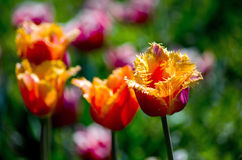 Beautiful parrot tulips on a spring day Royalty Free Stock Photos