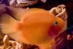 Beautiful parrotfish in aquarium Stock Images