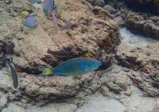 Beautiful Parrotfish in the Caribbean stock photos