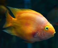 Beautiful Parrotfish Stock Image
