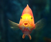 Beautiful Parrotfish Stock Images