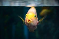 Beautiful Parrotfish Stock Photo
