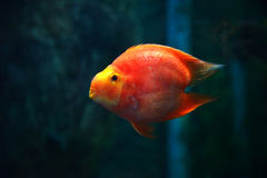 Beautiful Parrotfish Royalty Free Stock Image