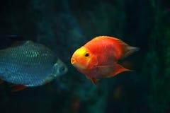 Beautiful Parrotfish Royalty Free Stock Photography