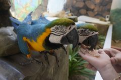 Beautiful parrots is eating food with hands Stock Photos