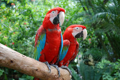 Beautiful parrots in Sentosa park, Singapore Royalty Free Stock Image