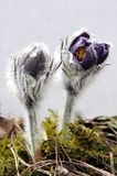 A beautiful pasque flower Royalty Free Stock Photo