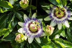 Beautiful Passiflora caerulea Royalty Free Stock Image